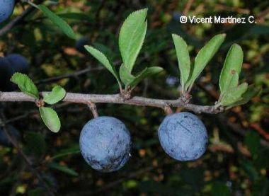 Photo of blackthorn fruits