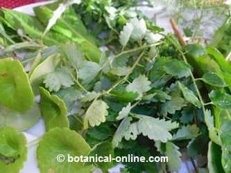 salad with edible wild plants.