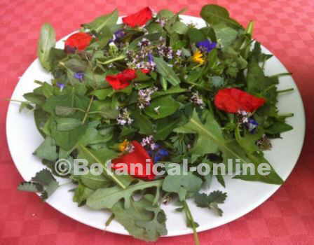 sowthistle salad