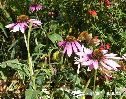 150 semillas Echinacea purpurea Semi Saatgut Graines Equinacea