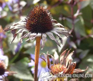 Echinacea dry flower