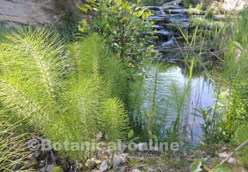 Horsetail Properties Botanical Online