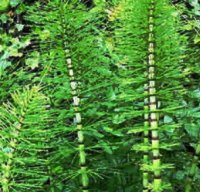 horsetail for decoctions