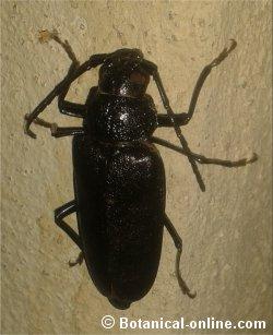 Great capricorn beetle