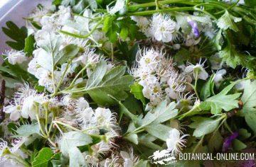 white hawthorn flowering tips