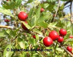 Fruits of hawthorn