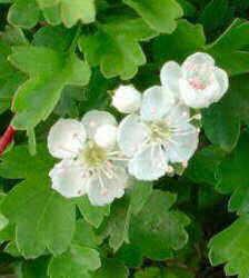 white hawhorn