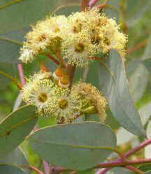 Photography of eucalyptus leaves and flowers
