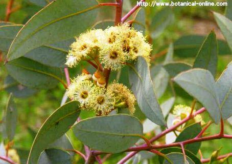 Eucalyptus flowers and leaves
