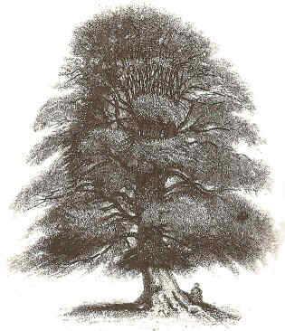 General aspect of a beech
