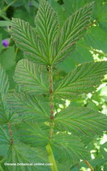 Meadowsweet leaves