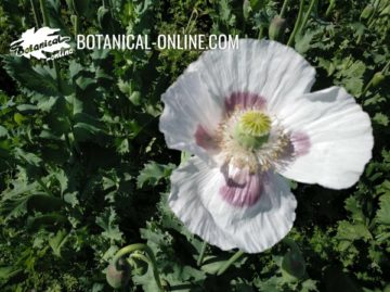 Poppy flower ( Papaver somniferum)