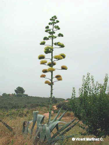 Photo of agave