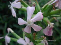 Common soapwort flowers