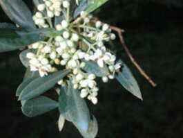 flower olive tree