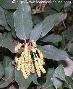 Holm oak catkins of flowers in spring