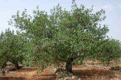 Photo of carob