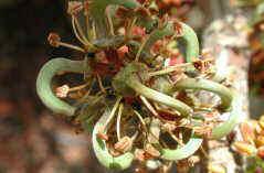 Ceratonia siliqua - flowers