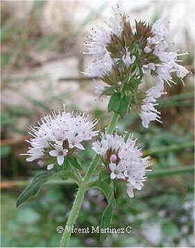 Mentha aquatica, flowers
