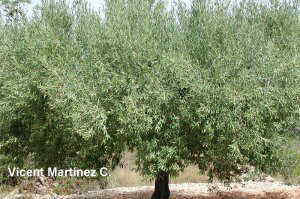 Olea europaea L., tree aspect.