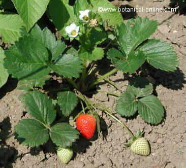 fresas con flor