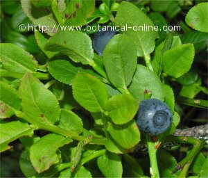 wild blueberry fruits