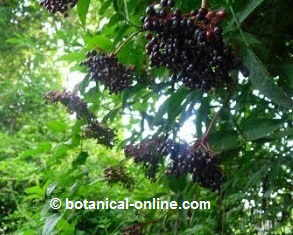 Edelberry black fruits