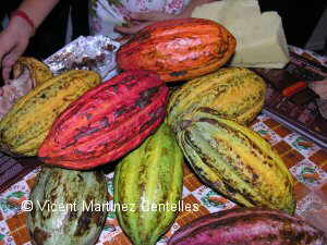 Photo of cocoa fruits