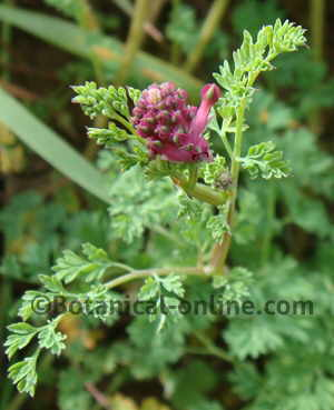 Photo of fumitory (Fumaria officinalis)