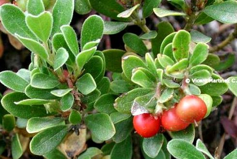 Photo of bearberry with leaves and fruits