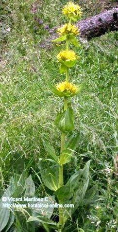 gentian plant