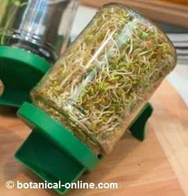 germinador de semillas de alfalfa