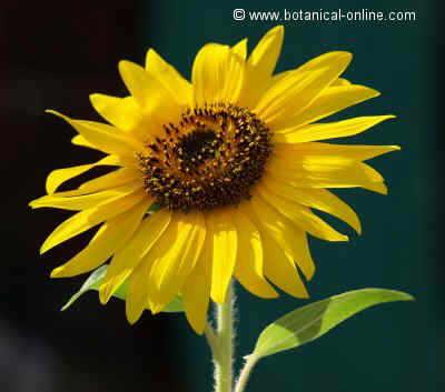 girasol flor