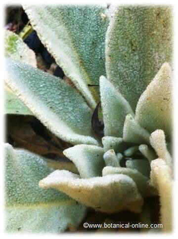 leaves of mullein during the first year