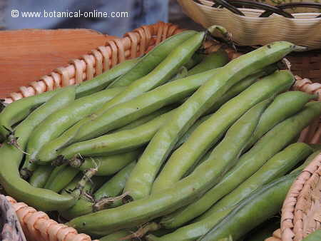 tender broad beans in their pods