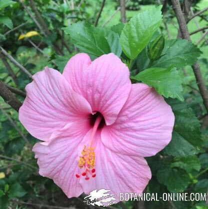 Hibiscus Tea Properties Botanical Online
