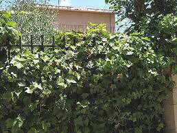 Ivy in a gate