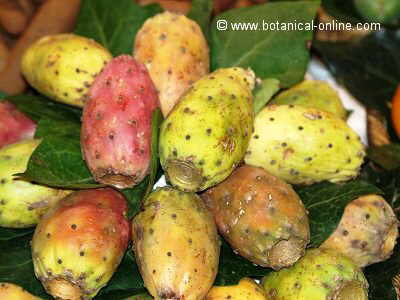 Nopal fruits