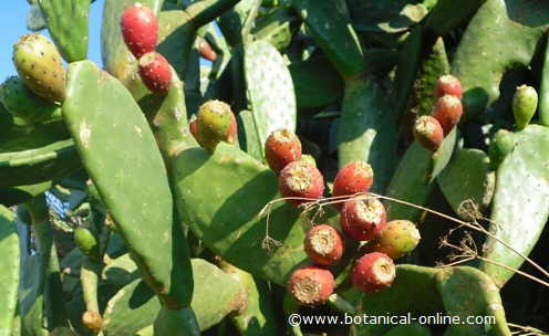 Prickly pear wearing fruits