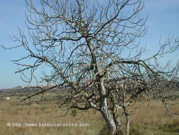 fig tree in winter