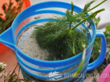 Photo elaboration cold fennel drink