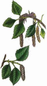 Drawing of birch