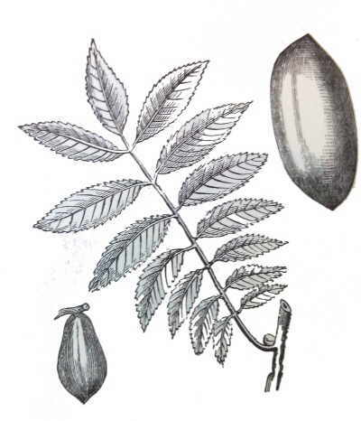 Illustration of a branch a fruit and a seed of pecan