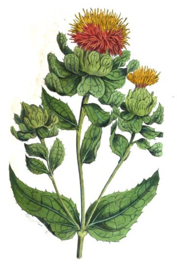 Illustration of the plant