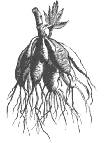 tuberous roots