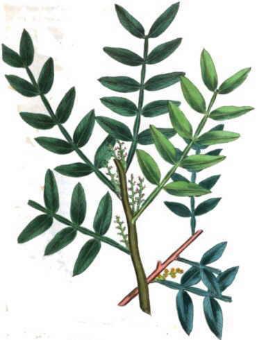 Mastic tree (Pistacia lentiscus)