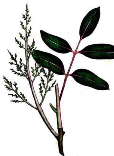 Pistacia terebinthus. Female