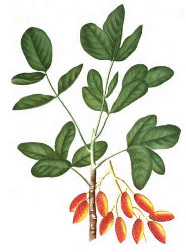 Pistachio (Pistacia vera)
