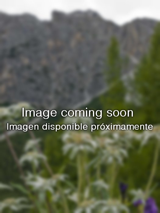 carthamus lanatus