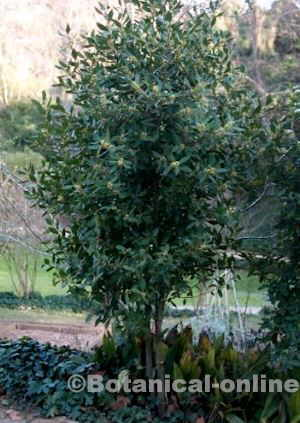 Laurel tree aspect